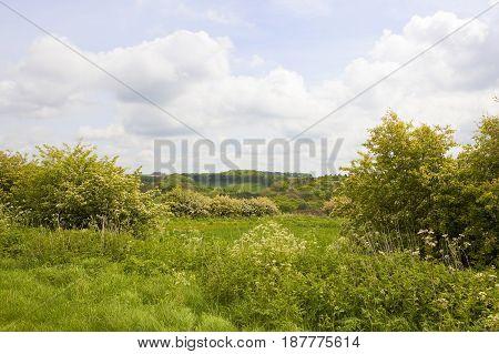 Flowering Hawthorn Hedgerow