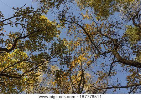 Big Autumn Oak Against The Blue Sky.