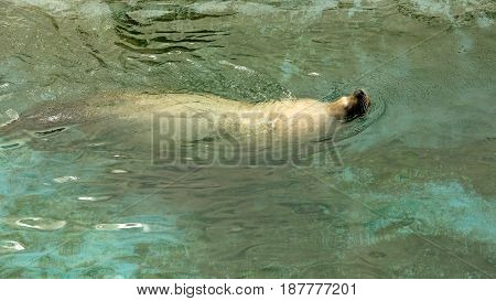 Large Sea Lion Swimming In The Sea