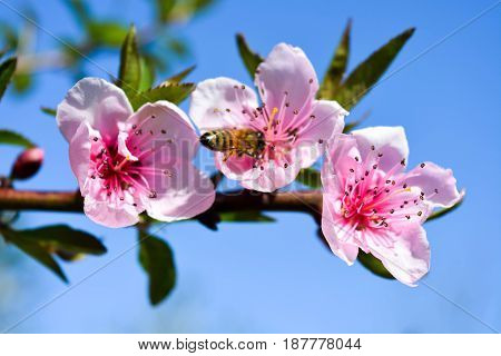 Natural background, peach tree flowers, blue sky, clouds