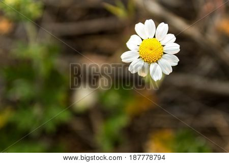Lonely Daisy. Camomile In The Field. Camomile On The Lawn. Wild Chamomile.