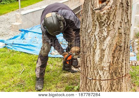 Woodcutter cuts the chain saw. Professional Lumberjack Cutting a big Tree in the garden