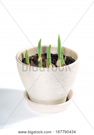 Planting flowers. Tulips begin to sprout in the pot on white background
