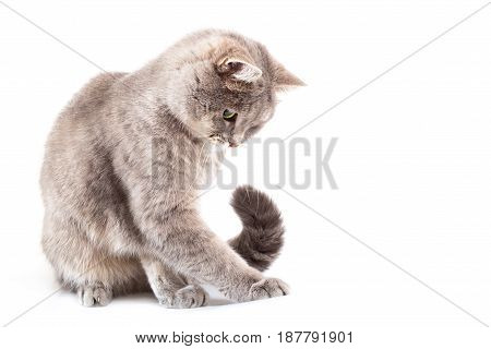 The gray cat sits and has pressed something a paw. The cat attentively looks observes. It is isolated on a white background