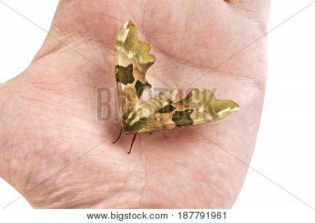 Lime Hawk-moth (mimas Tiliae) On A Hand