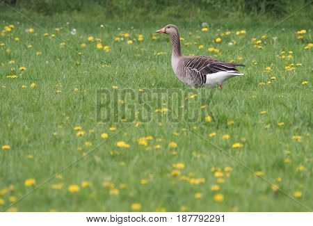 gray goose goes over a green meadow with yellow flowers