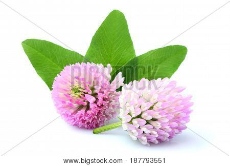 Clover flowers with leaves close up isolated on white background.