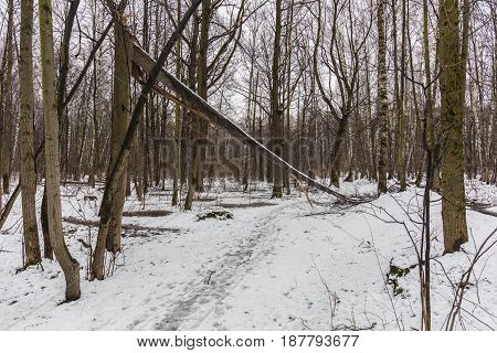 Broken tree forming an arch over a path in the early spring forest