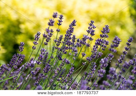 Garden with the flourishing Lavender and Oregano