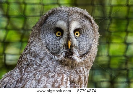 Great Gray Owl  Or Great Grey Owl (strix Nebulosa)