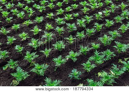 Plants in the land planted in rows plant nursery