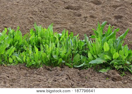 green bushes of sorrel grow on the ground in the spring