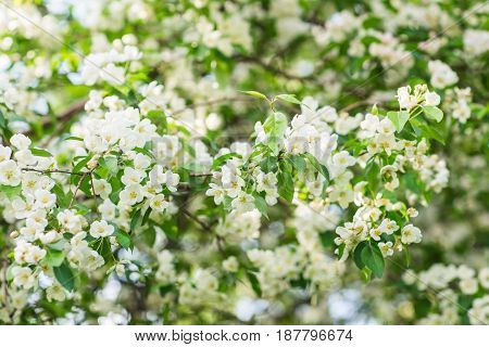 Blooming apple tree in spring time. Beautiful apple tree branch