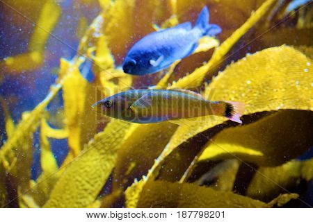 Fish swimming beside Kelp Plants in the cold waters of the Pacific Ocean at the California Coast