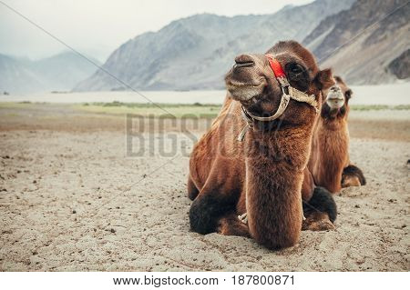 Rare two-humped camels in Nubra Valley, Ladakh, India