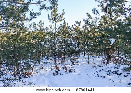 Winter Snow-covered Forest