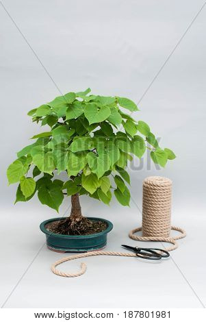 Bonsai in a ceramic pot. Japanese bonsai on a gray background with scissors and a skein of rope. Houseplant with tools for care.