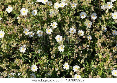 Flowers of a Montpellier cistus (Cistus monspeliensis)