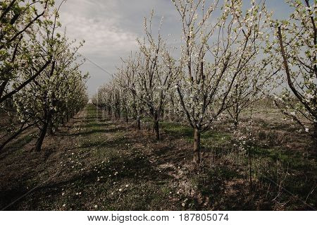 Plum trees during blooming season. Polish orchard