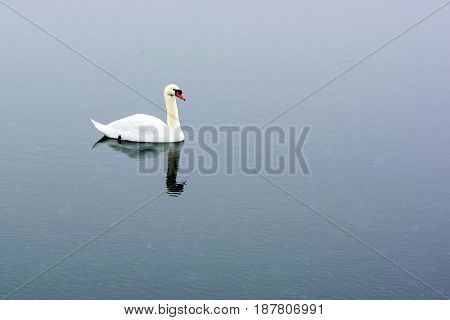 White Swan Swim On The Lake In The City Park. Proud And Beautiful Bird. Dark Water In Early Spring.t