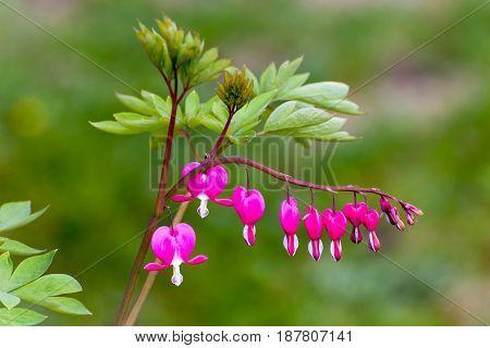 Bleeding Heart Flower In The Garden