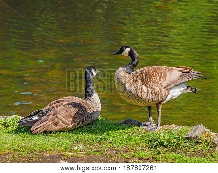 Pair of Canada goose near the lake looking at each other