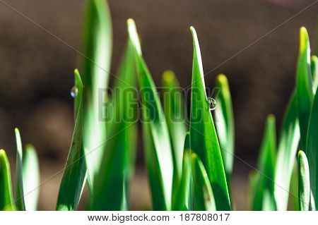 Spring green grass in the sunshine with a drop of dew. Abstract natural background