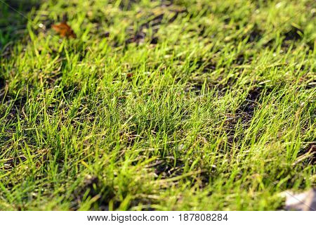 Spring green grass in the rays of the sun. Abstract natural backgrounds.
