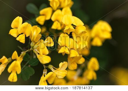 Flowers of a scorpion senna (Hippocrepis emerus)