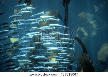 Northern Anchovy Fish swimming in the open cold waters of the Pacific Ocean at the California Coast