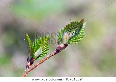 A branch of a tree with young leaves. Close-up blurred background