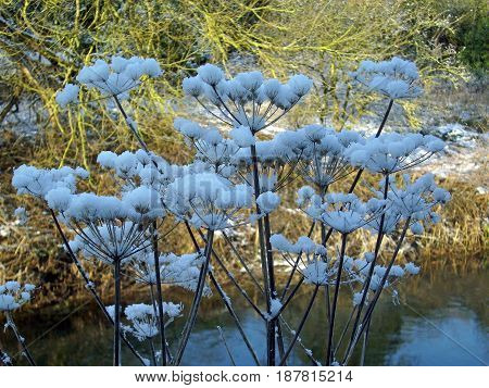 Snow on the seed heads of hogweed (Heracleum sphondylium) by a river with trees in the background.