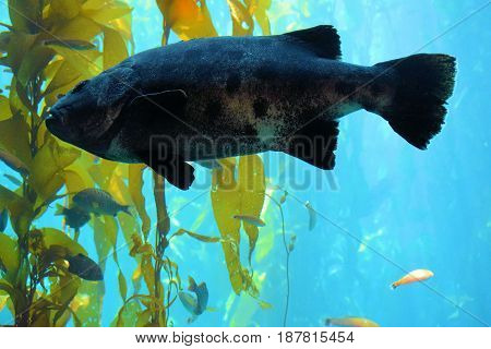 large fish swimming next to a Kelp Forest taken in the cold waters of the Pacific Ocean at the California Coast