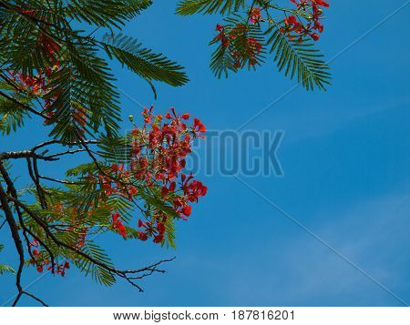 Royal Poinciana The background is sky.(with free space for text)