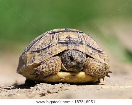 Spur thighed turtle (Testudo graeca) in natural habitat