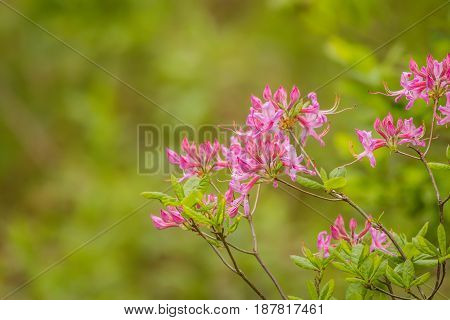 Wild pink fuschia Azelea (Rhododendron prinophyllum) make a beautiful and simple border in soft light