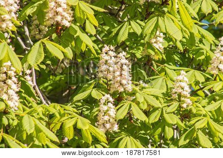Chestnut Tree Flowers On A Sunny Day