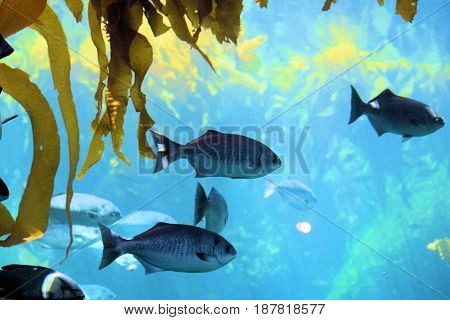 Fish swimming underwater next to Kelp Plants in the cold waters of the Pacific Ocean at the California Coast