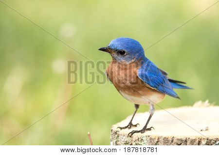 Eastern Bluebird (Sialia sialis) male standing on a stump with curious look