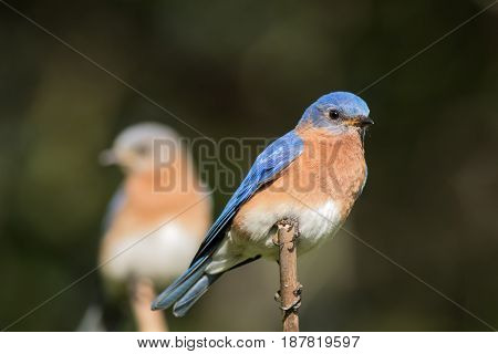 Beautiful Eastern Bluebird pair (Sialia sialis) with male in selective focus