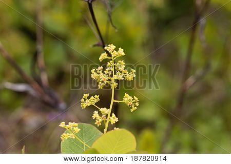 Flowers of an European smoketree (Cotinus coggygria)