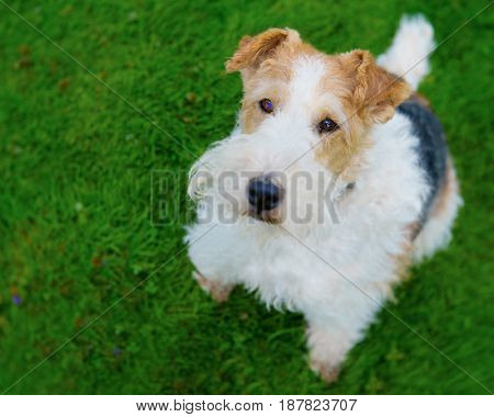 Wire fox terrier photographed with a specialty lens producing shallow depth of field effect.