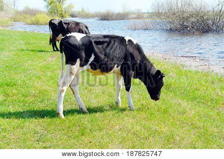 Black and white calf grazing on a meadow near the lake 2