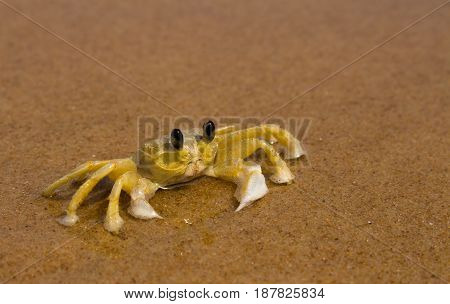 Huge yellow crab standing on the beach