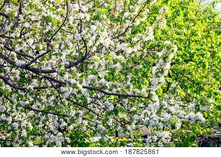 Blooming branches of apple trees in spring 2