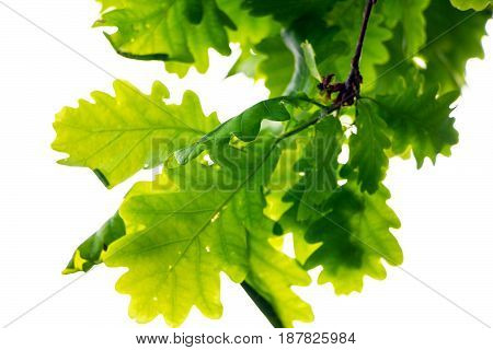 Branch of an oak tree with green leaves hanging from above, on a white background 2