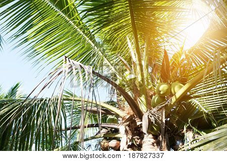 Coconut tree on summer in thailand. Tropical fruit