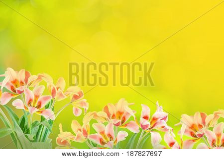 Tulips On Abstract Green Bokeh Background