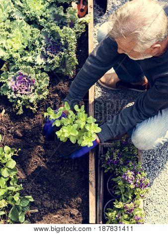 Senior man planting vegetables at garden backyard