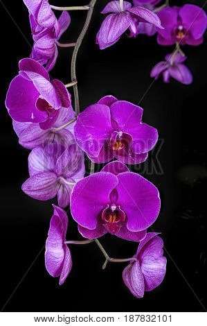 Beautiful purple orchids hanging from a vine.